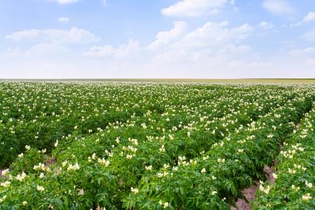 landwirtschaftlichen Bereich Kartoffelpflanze in Frankreich