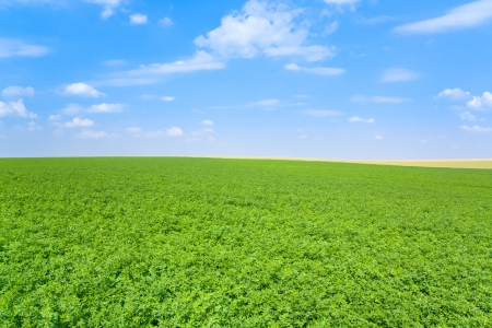 green lucerne field under blue sky in France Stock Photo - 14005537