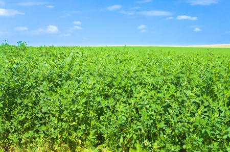 green lucerne field under blue sky in France Stock Photo - 14005476