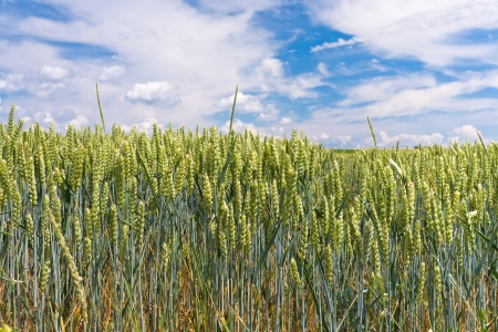 field of green rye with blue sky and white clouds in background Stock Photo - 14005432