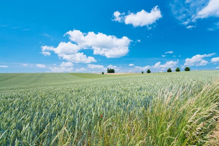 summer wheat country field in France photo