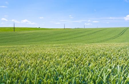 green wheat field under blue sky in France Stock Photo - 14005553