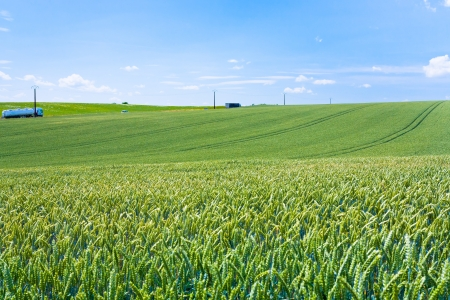 seed bed: green wheat field under blue sky in France
