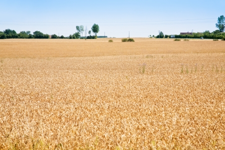 yellow wheat field under blue sky photo
