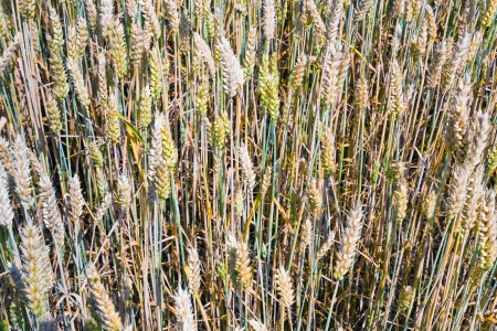 yellow and green wheat ears close up in field Stock Photo - 14005552