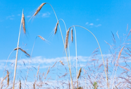 yellow rye ears close up with blue sky on background Stock Photo - 14001243