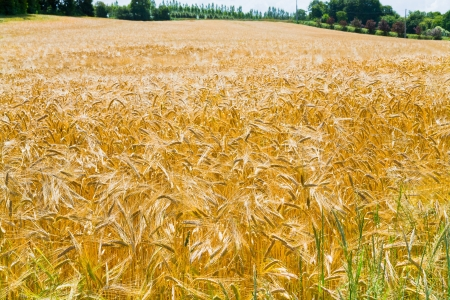 yellow wheat field under blue sky Stock Photo - 14150079