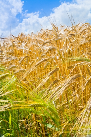 yellow wheat close up with blue sky and white clouds in background photo
