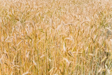 yellow wheat field in summer day photo