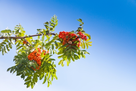 sorbus: Sorbus branch with rowanberry under blue sky