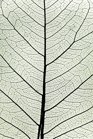 leaf close up: background from tree leaf close up