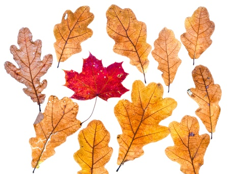 dried orange: autumn maple leaf surrounded by oak leaves isolated on white background Stock Photo