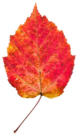 aspen leaf: one autumn red aspen leaf isolated on white background