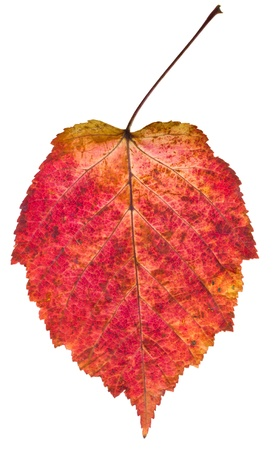 aspen leaf: autumn red aspen leaf isolated on white background Stock Photo
