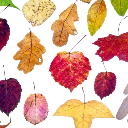leaf fall from multicolored autumn leaves isolated on white background photo