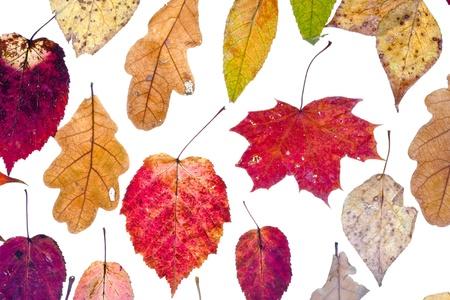 manycolored autumn leaves isolated on white background photo