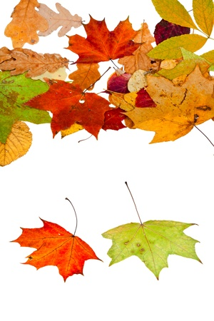 two maple and many autumn leaves isolated on white background photo