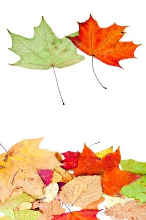 dead leaves: dos de arce y muchas hojas secas aisladas sobre fondo blanco Foto de archivo