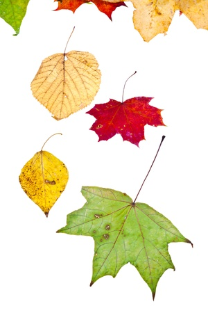 deciduous birch aspen maple and many autumn leaves isolated on white background photo