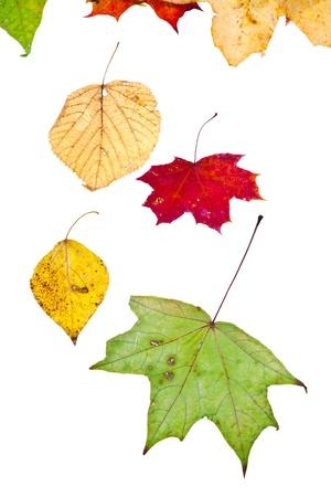 dode bladeren: loof-berken aspen esdoorn en veel herfst bladeren geà ¯ soleerd op witte achtergrond