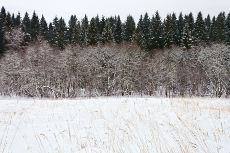 margin of a spruce forest on a winter day Stock Photo - 17305721