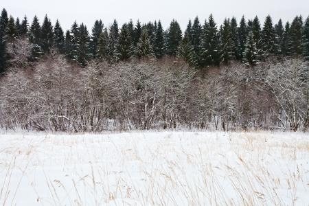 margine: margine di un bosco di abeti rossi in una giornata invernale