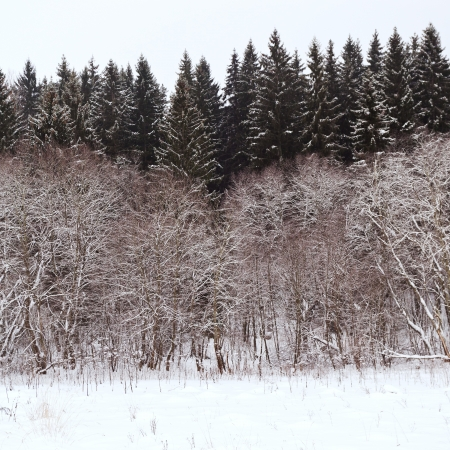 edge of a spruce forest on a winter day photo