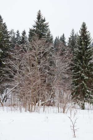 edge of a spruce forest on a winter day Stock Photo - 17305645