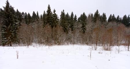 margen: margen panor�mica de un bosque de abetos en un d�a de invierno Foto de archivo