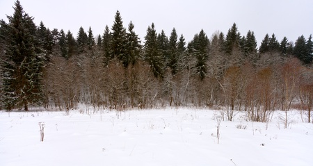panoramic margin of a spruce forest on a winter day photo