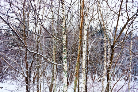 thin young birch underwood on winter snow forest edge in evening gloaming photo