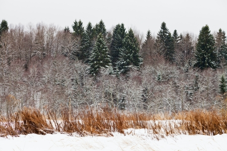 snowed spruce forest edge on a winter day photo
