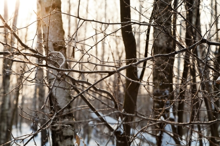 yellow early sunset in winter birch forest Stock Photo - 17590115