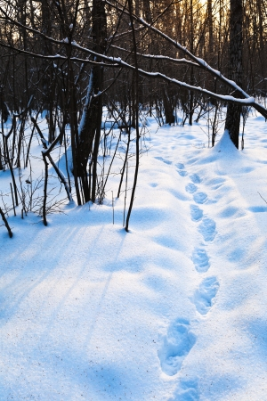 path in deep blue snow at early sunset in winter forest Stock Photo - 17590205
