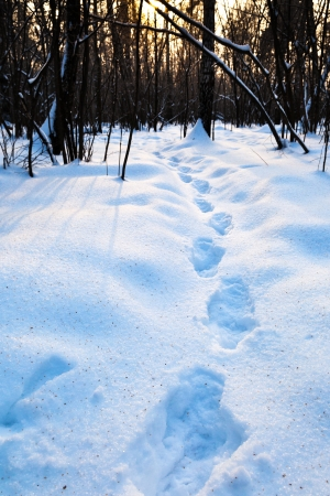 step traces in deep blue snow at early sunset in winter forest Stock Photo - 17590195