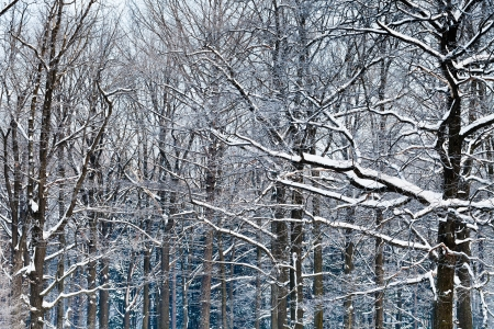 oak branches under snow in winter forest Stock Photo - 17588775