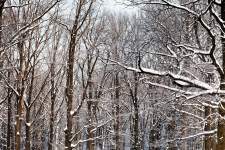 yellow oak branches under snow in winter forest Stock Photo - 17590219