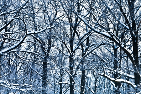 blue oak branches under snow in winter forest Stock Photo - 17590221