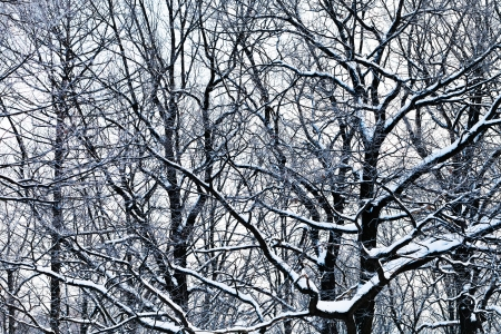 gloomy oak branches under snow in winter forest photo