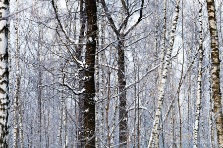 oak and birch trunks in winter forest Stock Photo - 17590209
