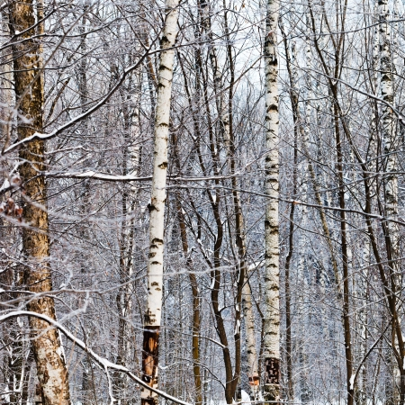 several birch trunks in winter forest Stock Photo - 17590214