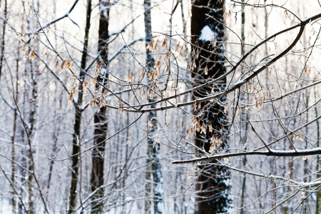 frost on ash tree seeds in winter forest Stock Photo - 17590190