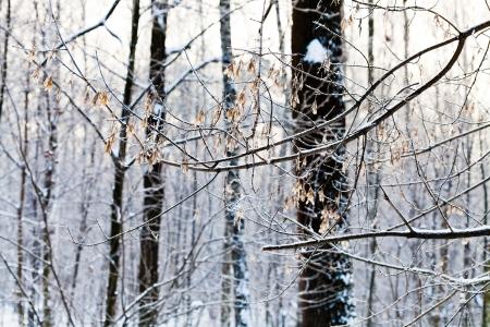 ash tree: gelo su semi di albero di cenere nella foresta di inverno