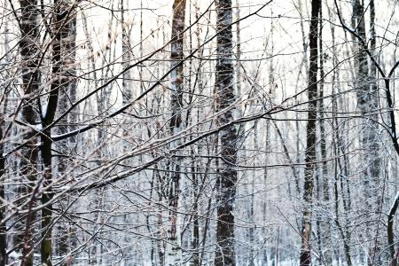 ash tree: brina sui rami degli alberi di frassino nella foresta di inverno