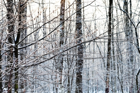 frost on ash tree branches in winter forest Stock Photo - 17590208