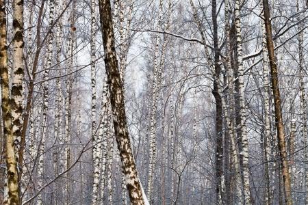 bosk: many birch trunks in winter forest