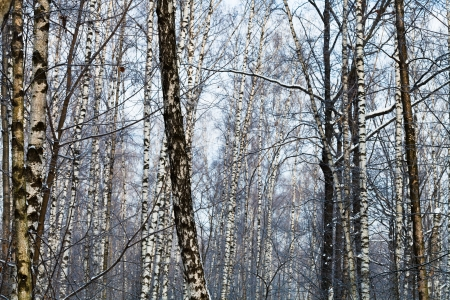 many birch trunks in early spring forest photo