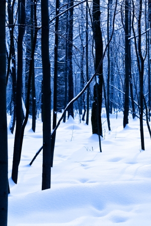 dark oak trunks in blue cold winter forest Stock Photo - 17590193