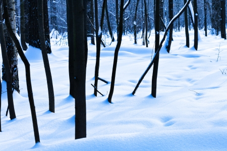 black oak trunks in blue cold winter forest photo
