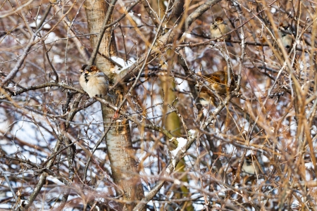 sparrows in bush in winter forest photo